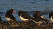 A Flock Of Pied Oystercatchers Rest Near The Water