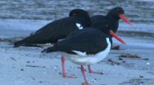Three Pied Oystercatchers Stand On A Beach Above The Water Line