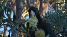 A Yellow-Tailed Black-Cockatoo Forages On A Banksia Bloom
