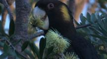 Yellow-Tailed Black-Cockatoo Forages On A Banksia Bloom