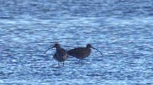 Two Eastern Curlews Wade In Shallow Water