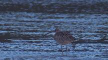 Eastern Curlew Stands In Shallow Water