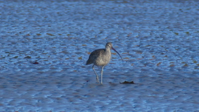 Eastern Curlew Forages On A Mudflat