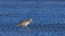 An Eastern Curlew Forages On A Mudflat