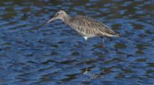 A Bar-Tailed Godwit Forages On A Mudflat