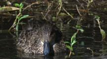 A Teal Forages In A Pond