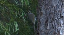 A Honeyeater Forages On The Bark Of A Tree