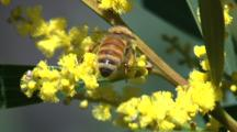 A Honeybee Collects Pollen From A Flowering Bush