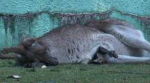 Kangaroo With A Joey In The Pouch Rests On The Ground