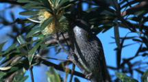 A Wattlebird Forages On Banksia Bloom And Leaves