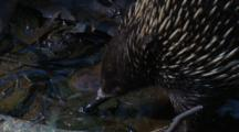 An Echidna Drinks From A Puddle And Moves On