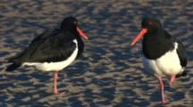 Pied Oystercatchers Gather On A Sandflat