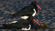 Two Pied Oystercatchers Rest  On A Sandflat