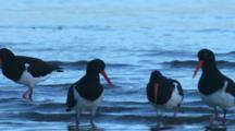 Pied Oystercatchers Forage In Shallow Water