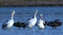 Australian Pelicans And Black Swans Gather In Shallow Water