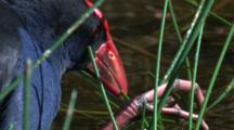 A Purple Swamphen Feeds On Reed