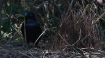 Male Satin Bowerbird Works On Its Bower And Leaves