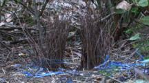 The Bower Of A Satin Bowerbird With A Collection Of Blue Items