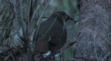 A Satin Bowerbird Preens On A Tree And Looks Around