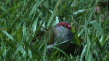 A Red-Browed Finch Forages On Grass Seeds And Flies Off