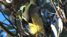 A Honeyeater Forages On A Banksia Bloom