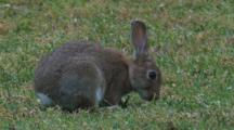 Rabbits Are Introduced Pests In Australia And Advance From South To North