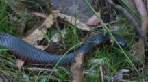 A Black Snake Slides Under A Rock To Search For Food