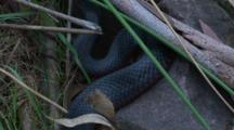 A Black Snake Searches For Food Under Rocks
