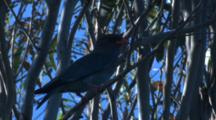 A Dollarbird, Perched On A Branch, Observes Its Surroundings