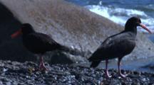 Sooty Oystercatchers Forage On A Rocky Shoreline