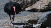 A Sooty Oystercatcher At Its Nesting Site