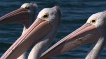 Three Australian Pelicans Play Around
