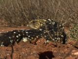 A Shingleback Lizard Looks Out For Prey While Walking