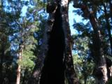 Vertical Pan Of The Largest Tingle Tree's Remnants
