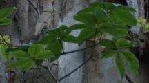 The Leaves Of A Climbing Plant On The Trunk Of A Gum Tree