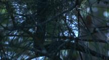 A Diamond Python Glides Up On A Casuarina Tree