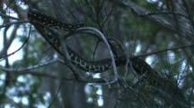 A Diamond Python Rests On The Branch Of A Casuarina Tree
