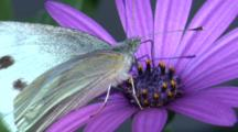 A Cabbage Butterfly Forages On A Purple Flower And Flies Off