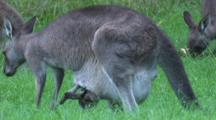 A Baby Kangaroo's Legs And Head Stick Out Of The Pouch