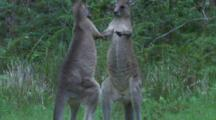 Two Juvenile Male Kangaroos Are Sparring Partners In A Yet Harmless Fight