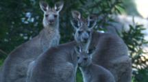 A Small Mob Of Kangaroos Notice An Intrusion