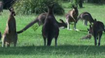 A Mob Of Kangaroos Are Playing Tag