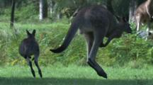 A Mob Of Kangaroos Are Involved In A Frenzied Hop-Around