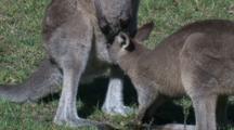 An Eastern Grey Kangaroo Suckles Its Joey