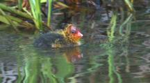 A Coot Chick Swims Fast To Get Food From Its Parents