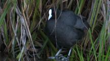 A Eurasian Coot Preens Its Plumage And Leaves
