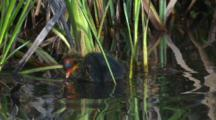 Two Eurasian Coot Chicks Swim Off Quickly