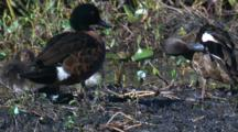 Chestnut Teals And Their Chicks Preen In A Swamp