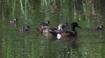A Chestnut Teal Family Swims Past