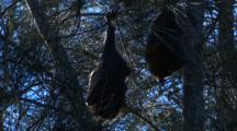 Two Fruit Bats Rest On Casuarina Trees During The Day